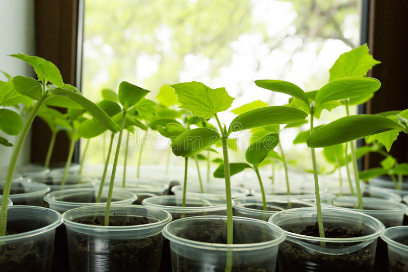 Jeune plante d'usine de concombres photographie stock libre de droits