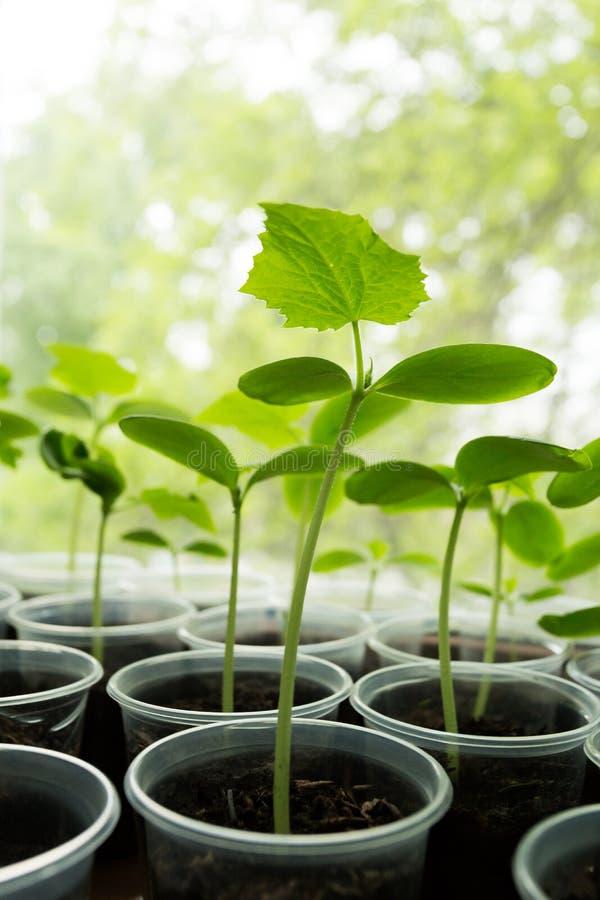 Jeune plante d'usine de concombres photos stock