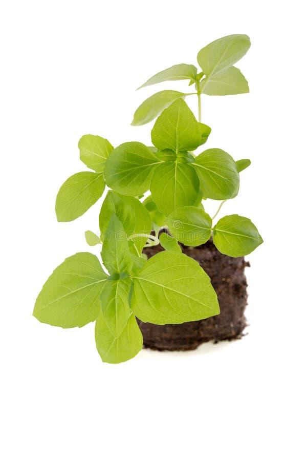 Jeune plante de Basil d'isolement sur le fond blanc photo stock
