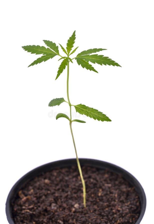 Jeune Plante De Cannabis En Plantant Le Pot Photo stock - Image du lame, nourrison: 76397950