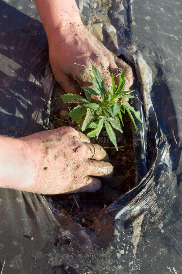 Jeune plante de chanvre industriel image libre de droits