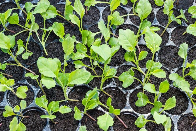 Jeune plante de chou frisé dans le plateau image stock