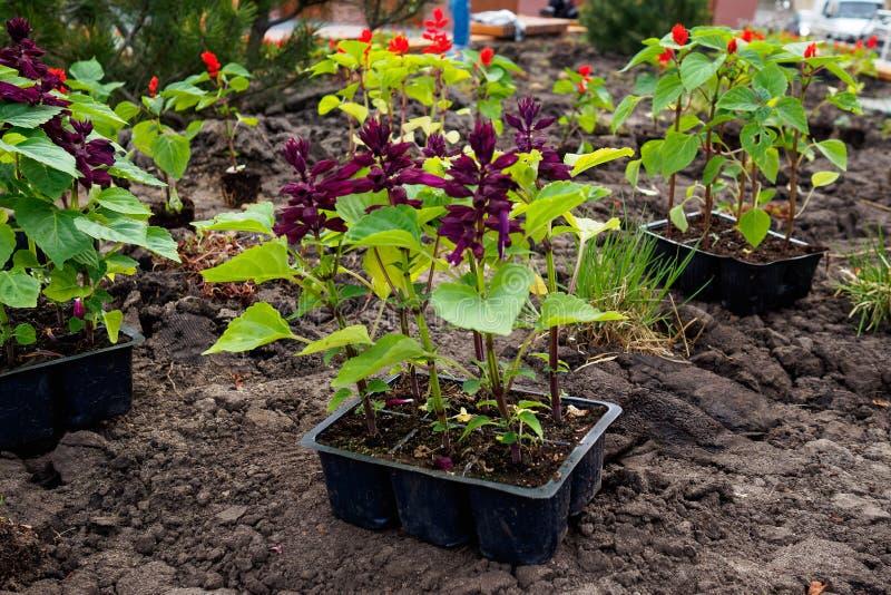 Jeune plante de fleur pr?par?e pour planter dans la terre photographie stock libre de droits