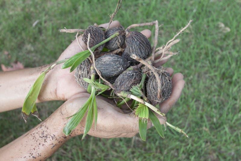 Jeune plante de participation de main de paume de vulpin de palmier photographie stock