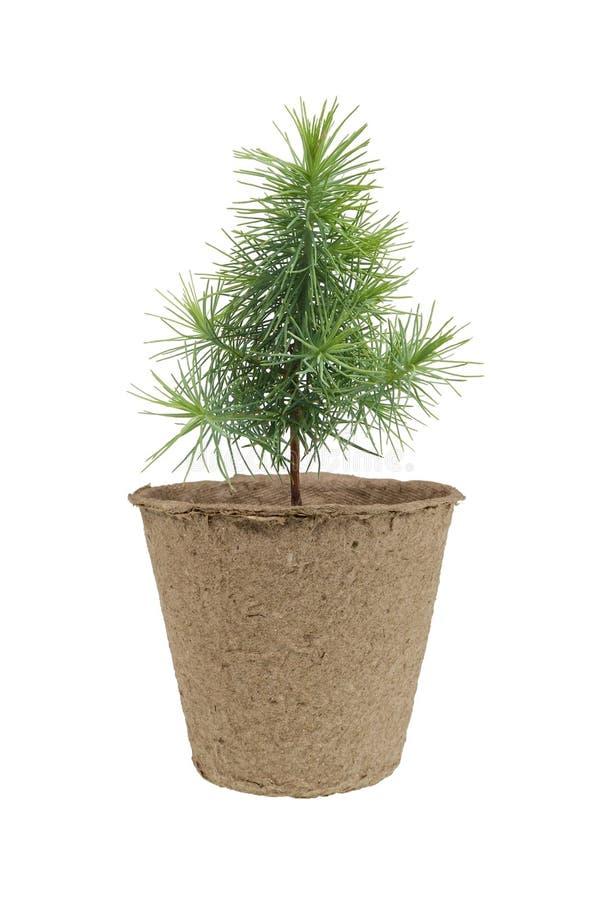 Jeune plante de pin photo libre de droits
