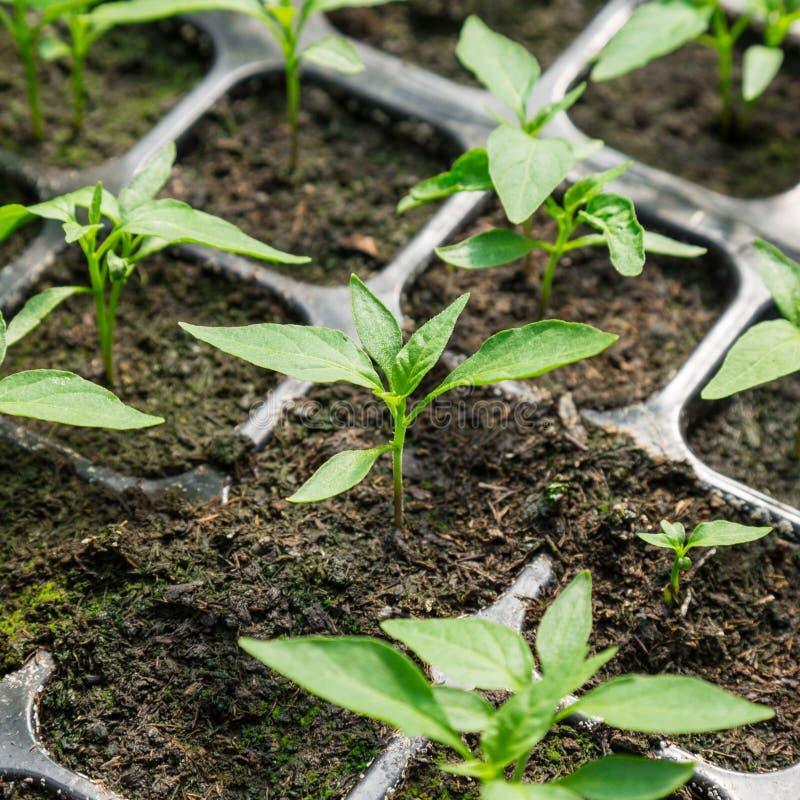 Jeune plante de poivre de piment photo stock