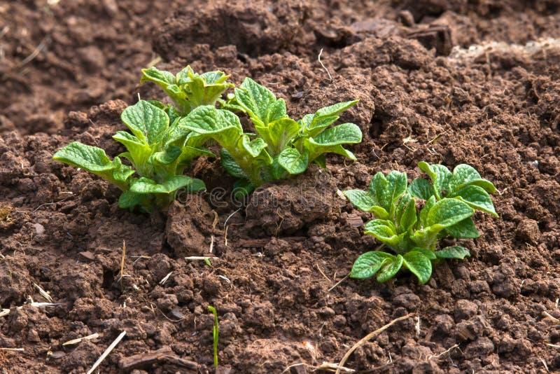 Jeune plante de pomme de terre dans le potager photo stock image 55718074 - Planter les pommes de terre ...