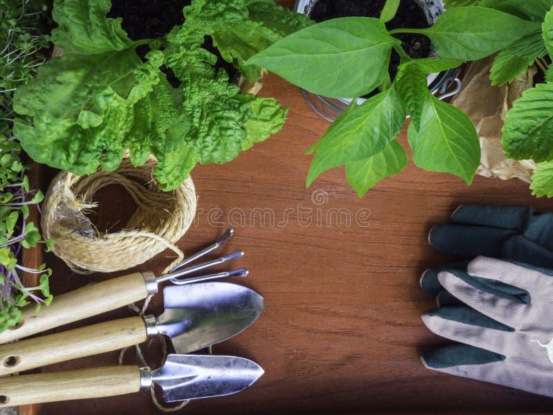 jeune plante de râteau de pelle dans des pots sur le fond en bois vue supérieure Basil, paprika, fraises photos stock