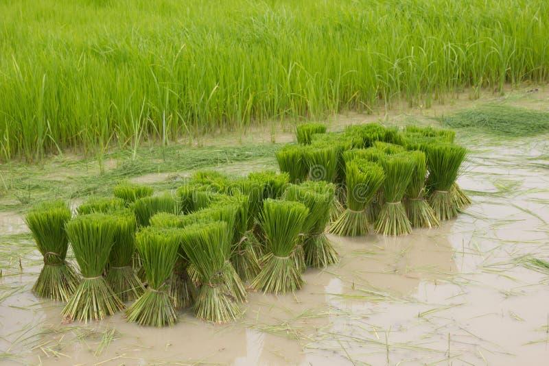 Jeune plante de riz sur l'eau boueuse photos libres de droits