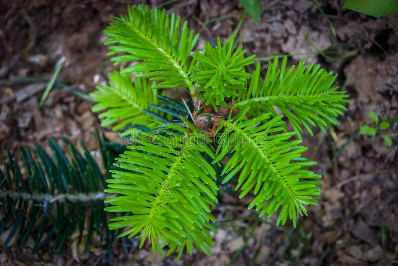 Jeune plante de sapin photo libre de droits