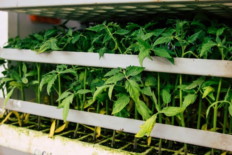 Jeune plante de tomate dans le plateau photo stock