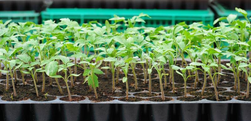 Jeune plante de tomate dans le plateau en plastique. image stock