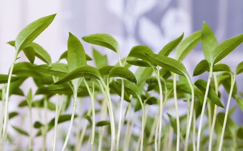 Jeune plante de tomate, plan rapproché photographie stock libre de droits