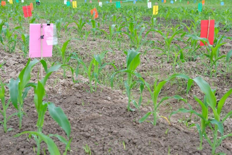 jeune jeune plante organique de pousse de maïs vert s'élevant dans f cultivé images libres de droits