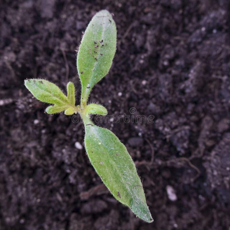 Jeune plante organique de tomate photos libres de droits