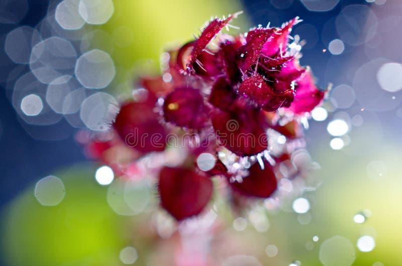 Jeune plante rouge de fleur de basilic d'image artistique avec le bokeh photos libres de droits