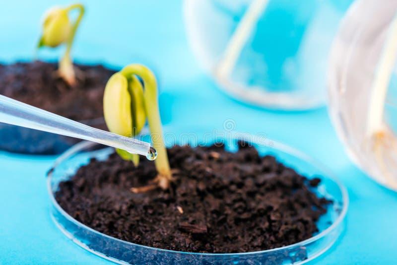 Jeune plante s'élevant dans la boîte de Pétri dans le laboratoire biotechnologique images stock