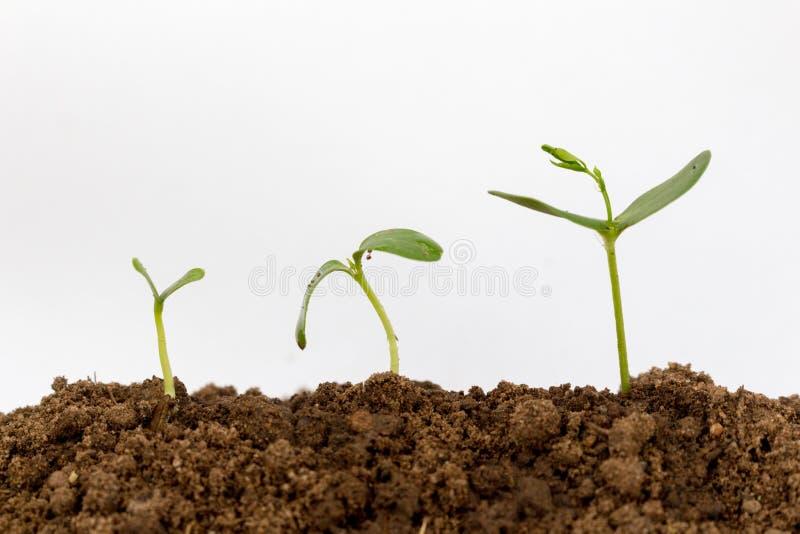 Jeune plante verte d'isolement sur un fond blanc photos libres de droits