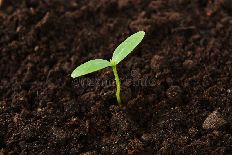 Jeune plante verte de concombre photo libre de droits