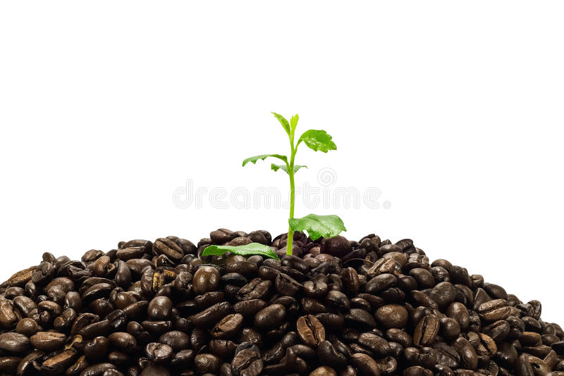 Jeune plante verte en grains de café d'isolement sur le fond blanc photo stock