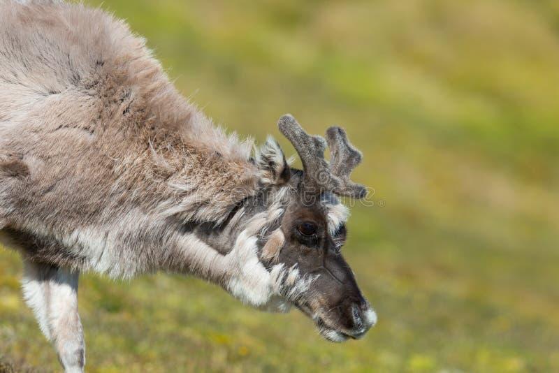 Jeune platyrhynchus de tarandus de rangifer de renne du Svalbard dans le gre image libre de droits