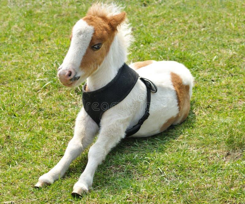 Jeune poney photos libres de droits