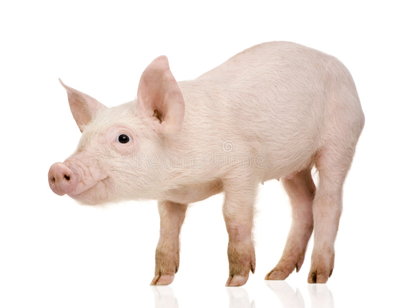 Jeune porc (+-1 mois) images stock
