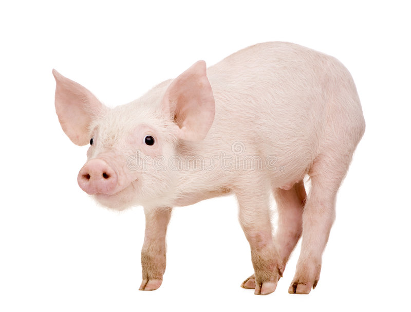 Jeune porc (+-1 mois) photo stock