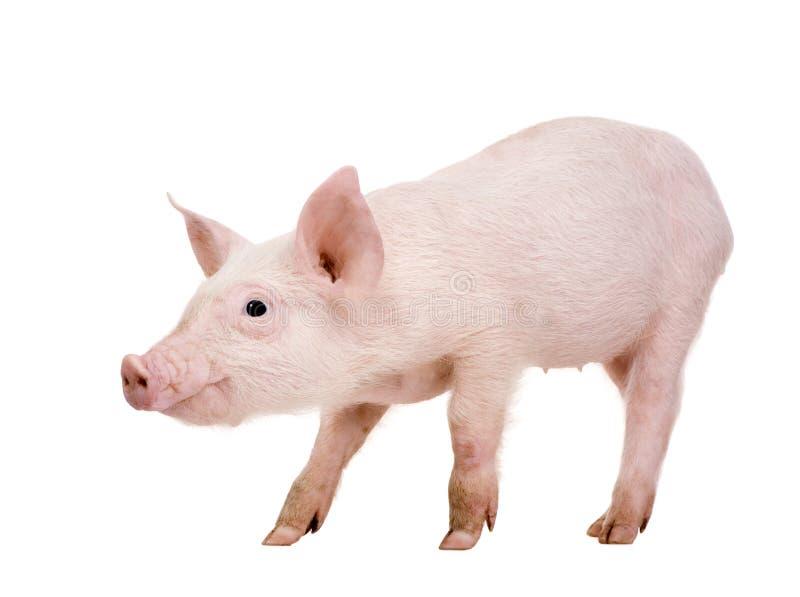 Jeune porc (+-1 mois) image libre de droits