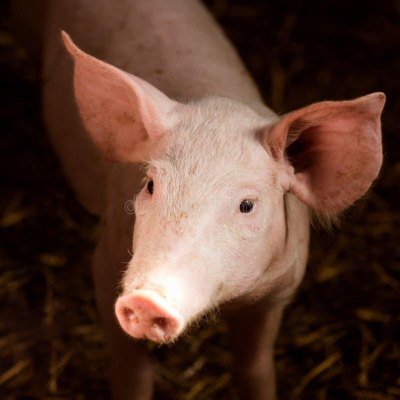 Jeune porc dans l'étable photographie stock