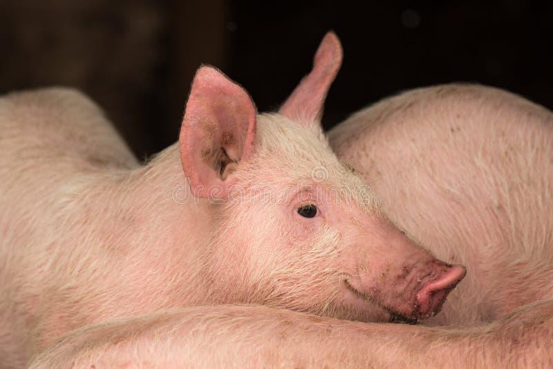 Jeune porc dans l'étable photo libre de droits