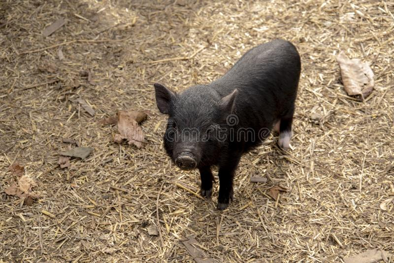 Jeune porc Pot-gonflé vietnamien mignon image libre de droits