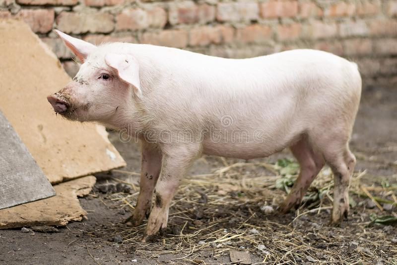 Jeune porc rose disposant à manger photos stock