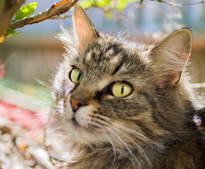 Jeune portrait de chat de ragondin du Maine photo libre de droits