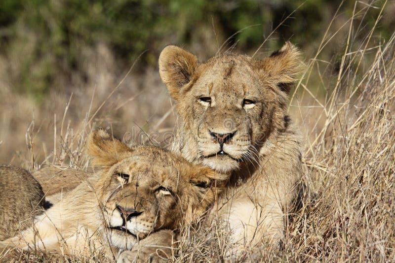 Jeune portrait de lions image libre de droits