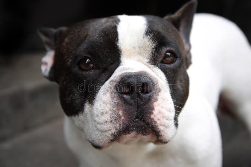 Jeune position française mignonne blanche et noire d'animal familier de chien de taureau de chiot image libre de droits