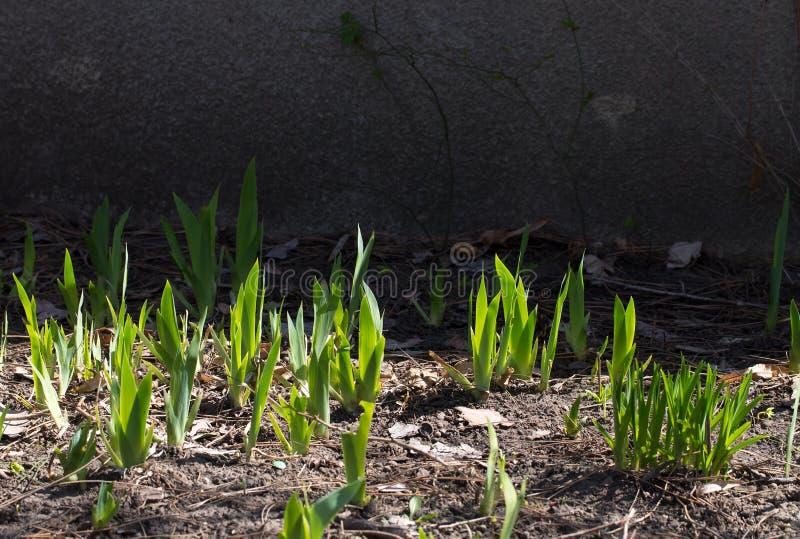 Jeune poule de tulipe image stock