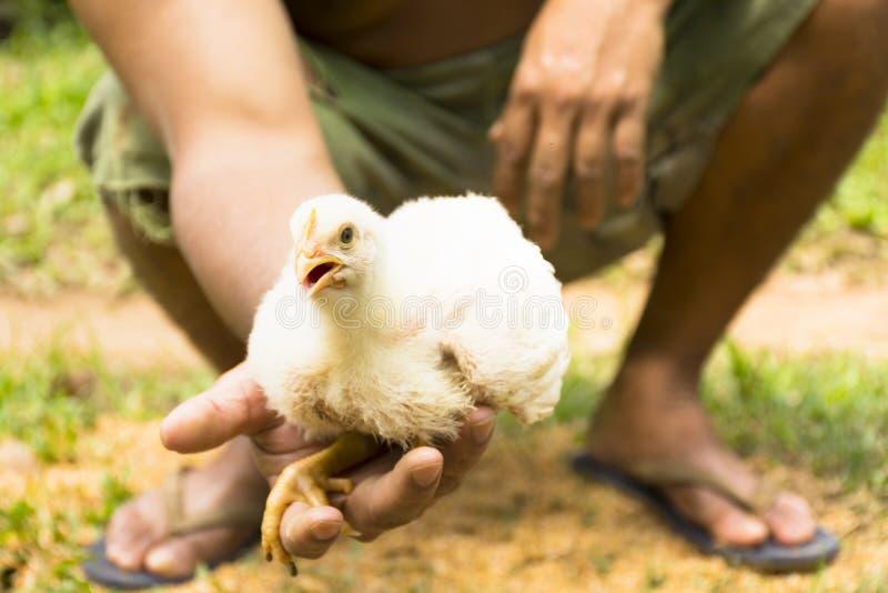Jeune poulet à rôtir ou poulet dans les mains des agriculteurs chez la ferme de bien-être des animaux photos stock