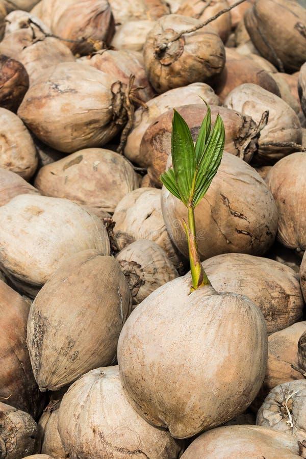 Jeune pousse d'arbre de noix de coco photo stock