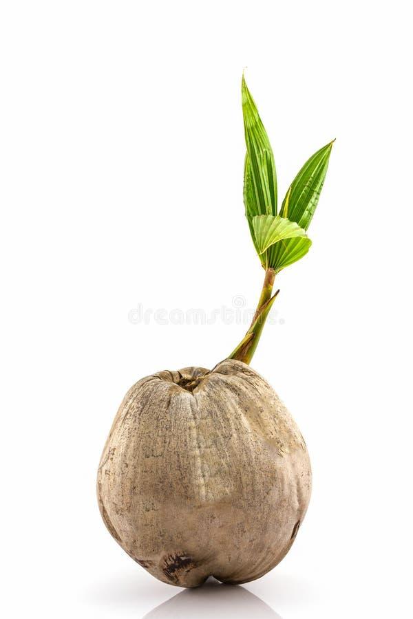 Jeune pousse d 39 arbre de noix de coco image stock image du manger centrale 49287841 - Arbre noix de coco ...