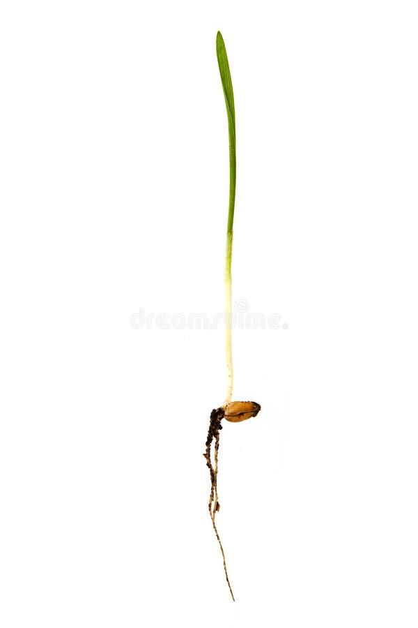 Jeune pousse de blé image libre de droits