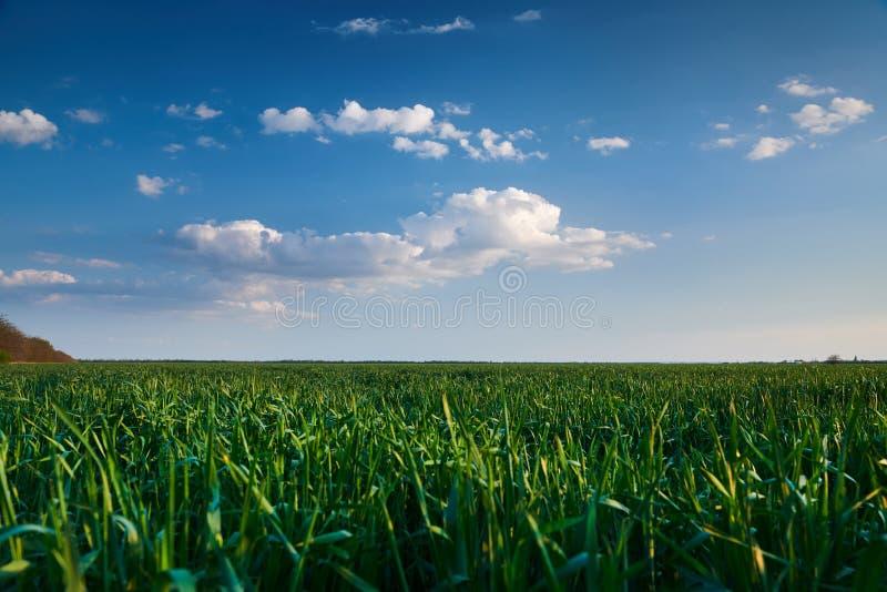 Jeune pousse de bl? dans le domaine ? la soir?e Beau coucher du soleil avec le ciel bleu-fonc?, la lumi?re du soleil lumineuse et photo stock