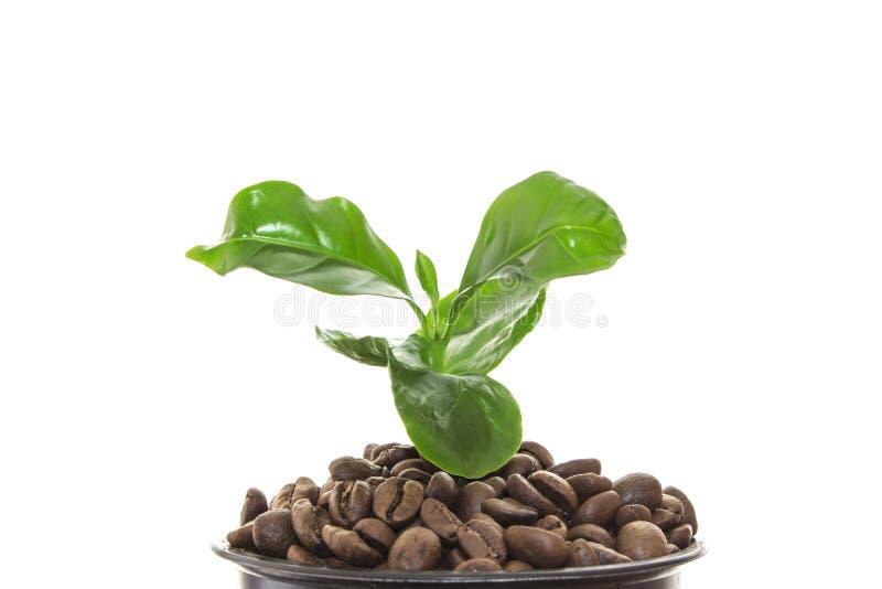 Jeune pousse verte d'un arbre s'élevant hors des grains de café image libre de droits