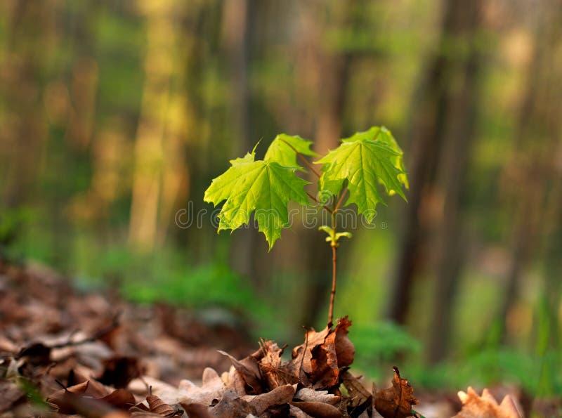 Jeune pousse verte d'un arbre s'élevant sur le fond de forêt photo libre de droits