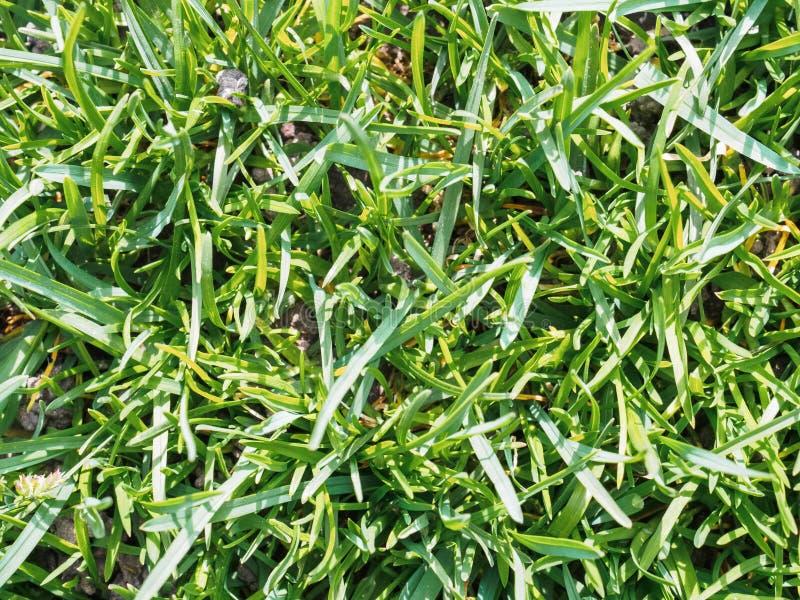 Jeune premi?re herbe verte au printemps Vue de ci-avant photo stock