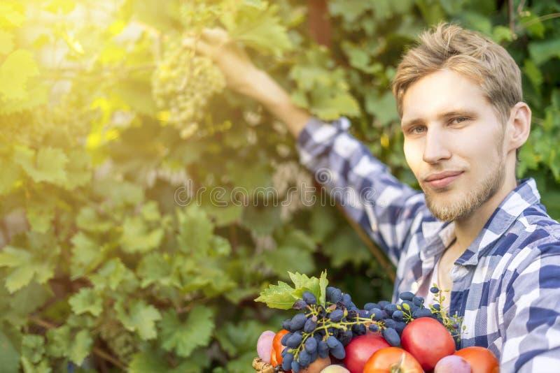 Jeune récolte barbue de vin de raisins de sélection d'homme dans le vignoble à une ferme de saison d'été photo stock