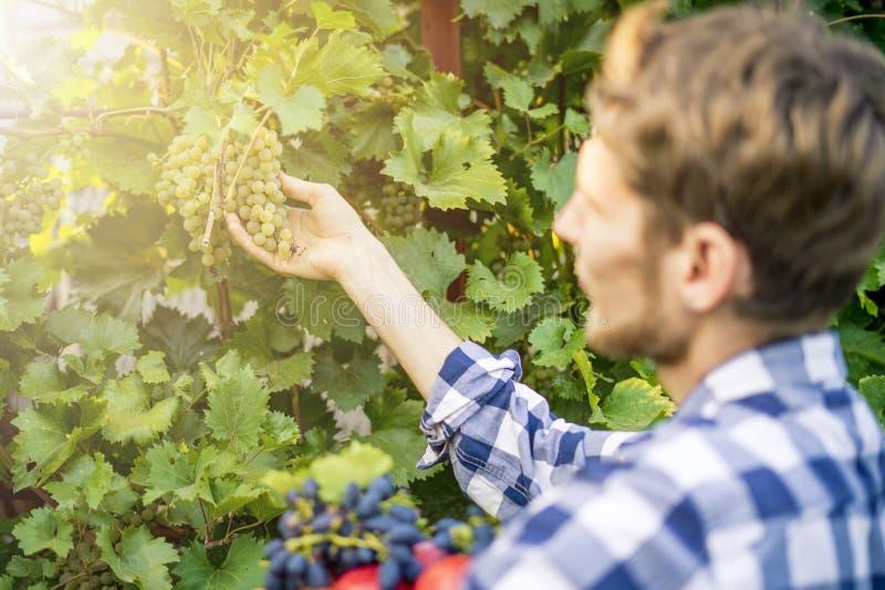 Jeune récolte barbue de vin de raisins de sélection d'homme dans le vignoble à une ferme de saison d'été images libres de droits