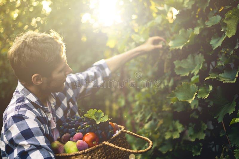 Jeune récolte barbue de vin de raisins de sélection d'homme dans le vignoble à une ferme de saison d'été images stock