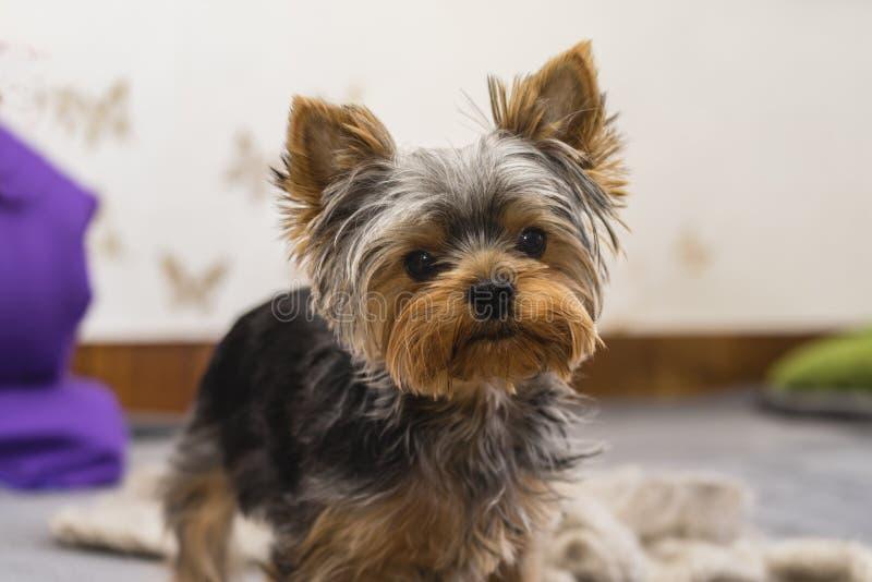 Jeune race de Yorkshire Terrier image libre de droits