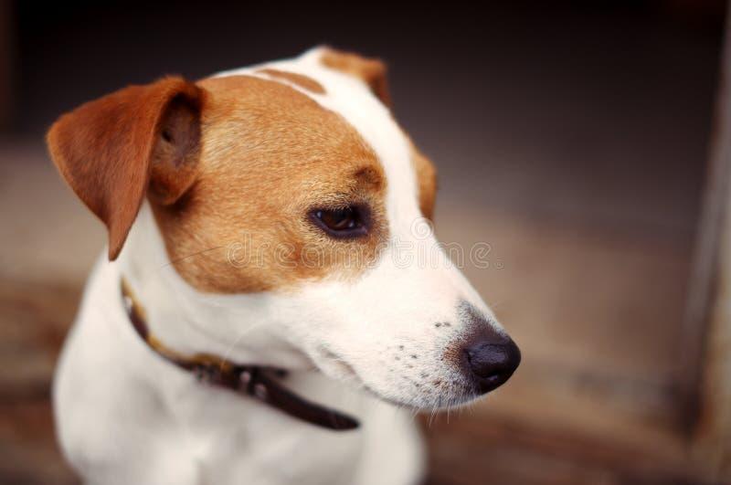 Jeune race Jack Russell Terrier de chien de pur sang image stock